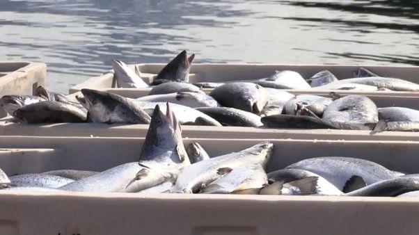 Une algue toxique prolifère et décime des élevages de saumons en Norvège