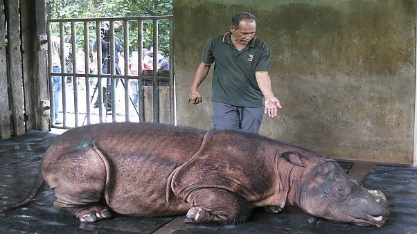 شاهد: نفوق آخر ذكر وحيد قرن سومطري في محمية ماليزية