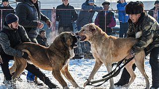 Facebook'a köpek dövüştürenlere platform sunma suçlaması