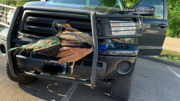 شاهد: سائق يصطدم بطاووس .. ترى ماذا حل بريشه؟