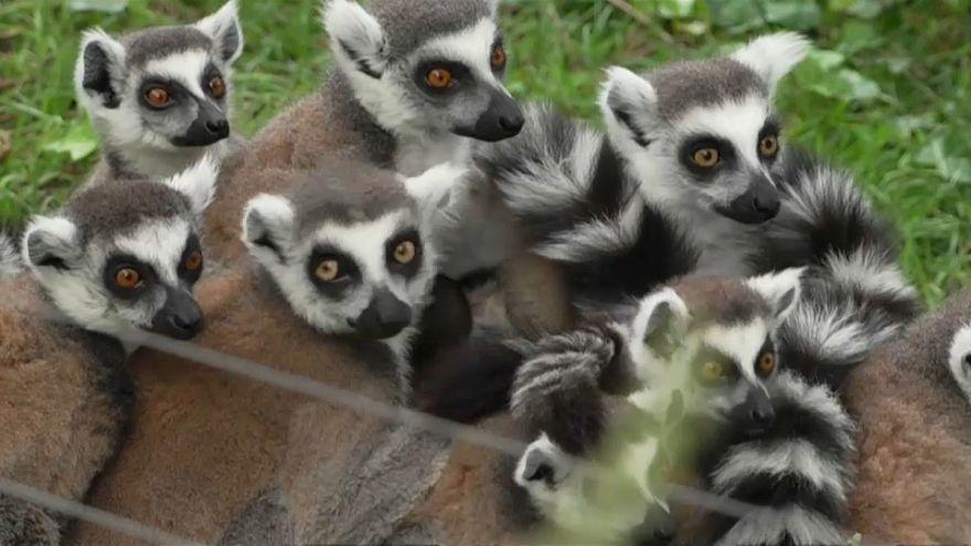 شاهد: حديقة روما ترحب بتوأمين جديدين من حيوان الليمور