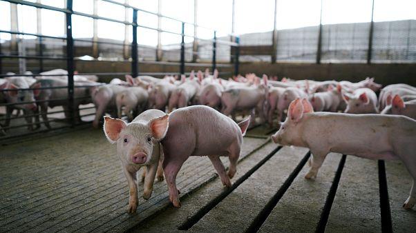 الفيتنام تعدم مليوني خنزير بعد انتشار انفلونزا الخنازير