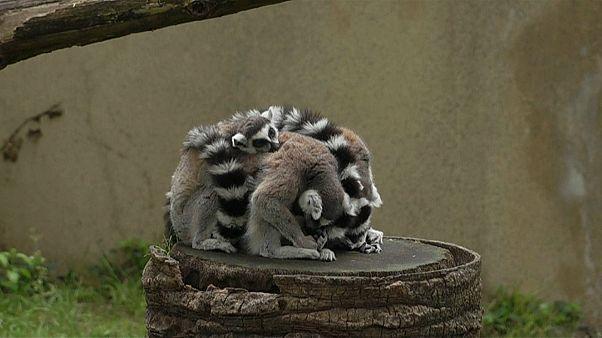 شاهد.. توأمان من حيوان الليمور يلعبان في حديقة حيوان روما