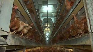 Petição visa erradicar gaiolas na criação de animais