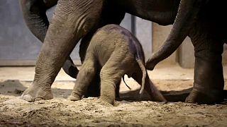 Слонёнок учится ходить