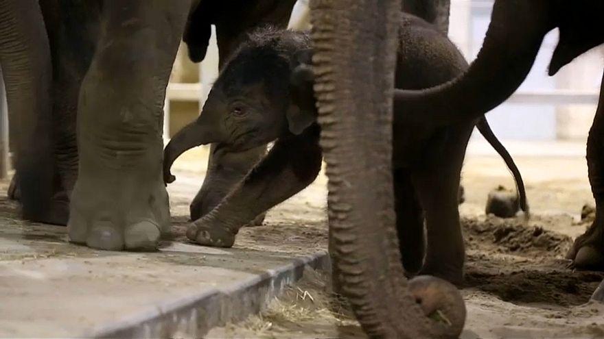 شاهد.. أنثى فيل تساعد مولودها الجديد على المشي