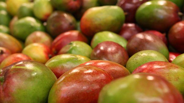 Mango-Überschuss: Preisverfall aus Angst vor dem Verfaulen der Früchte