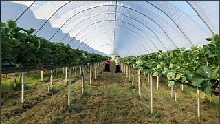 """شاهد: """"القناديل الحمراء"""" في هارتفوردشير وتداعيات """"بريكست"""" على الزراعة في بريطانيا"""