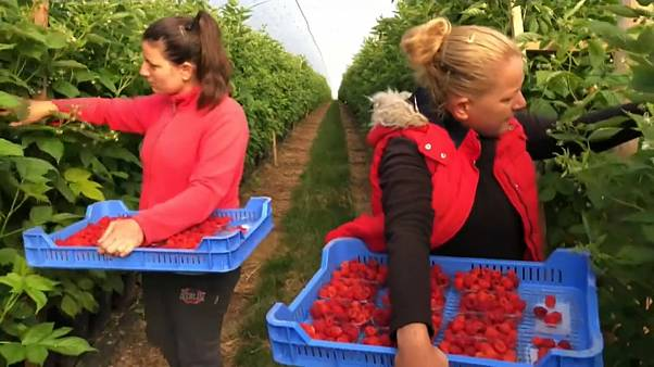 UK suffers from shortage of seasonal fruit pickers this summer