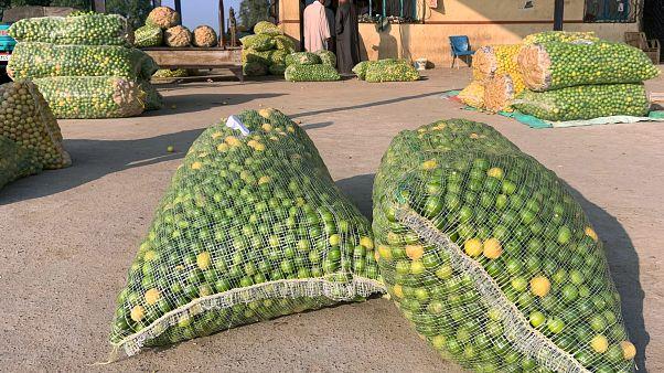 أكياس من الليمون في محافظة البحيرة في مصر