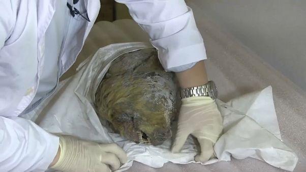 شاهد: ثلوج سيبيريا تحفظ رأس ذئب منقرض لأربعين ألف سنة