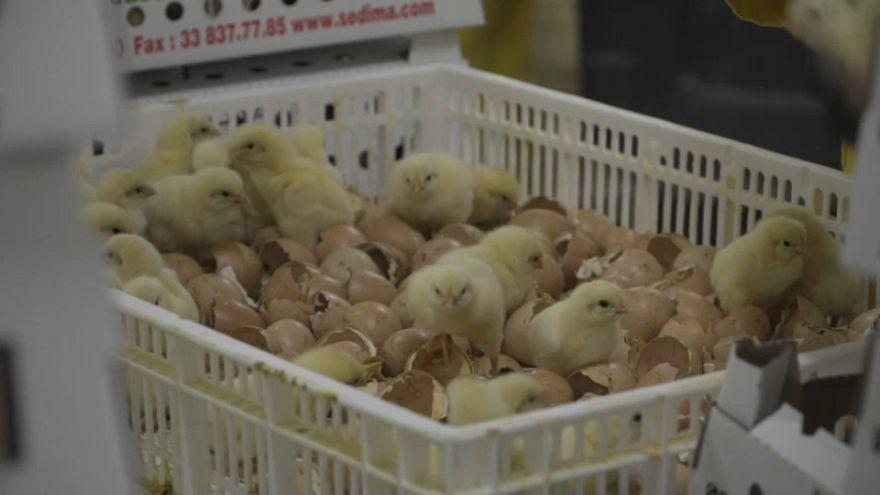 Aval judicial al sacrificio masivo de pollitos en Alemania