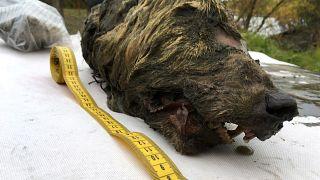 Rusya'da 40 bin yıllık donmuş kurt kafası bulundu