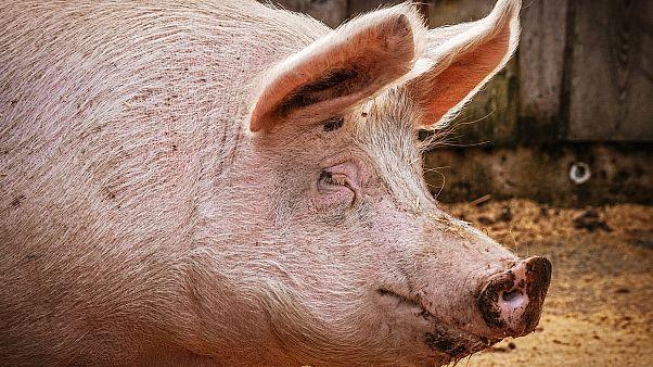 100 Milionen Schweine sterben - Deutschland soll liefern