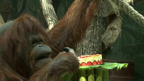 """""""إنسان الغاب""""  نينات وهي تتذوق المرطبات بمناسبة عيد ميلادها 50"""