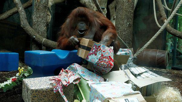 Nenette, France's most famous Orangutan celebrates 50th birthday