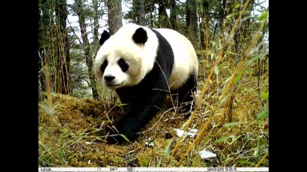 """شاهد: الكاميرات تلتقط لهو الباندا و""""ديسمها""""بمحمية طبيعية في الصين"""