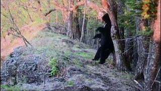 شاهد: ماذا فعل دب أسود آسيوي لحك ظهره في أحد متنزهات روسيا
