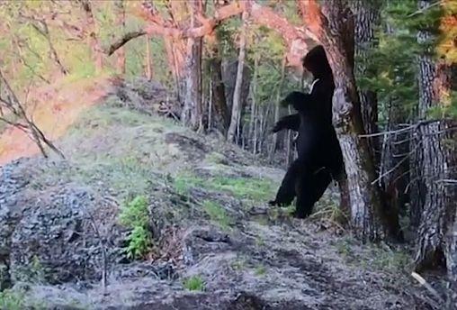 Гималайский медведь против видеокамеры