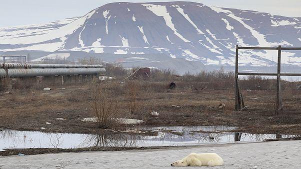 В Норильск пришла голодная медведица