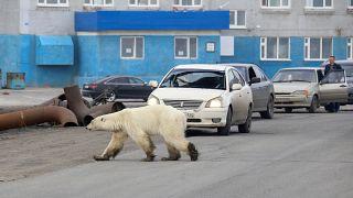 شاهد: دبة قطبية تائهة في مدينة سيبيرية شوهد آخر واحد فيها منذ 40 سنة