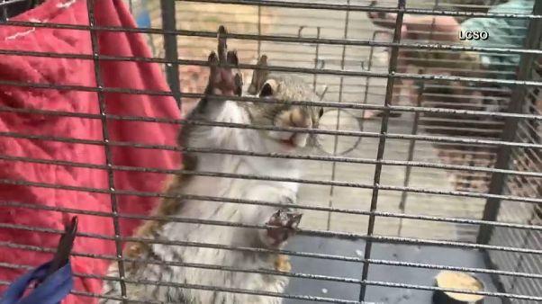 Usa: metanfetamina allo scoiattolo per farlo combattere