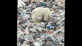 Белая медведица бродит по свалке в Норильске