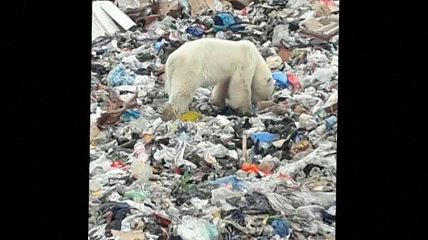 Eisbär verirrt sich auf der Suche nach Futter in Norilsk