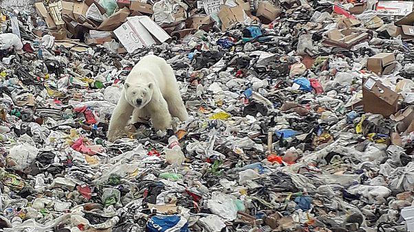 ویدئو؛ زبالهگردی خرس قطبی برای یافتن غذا