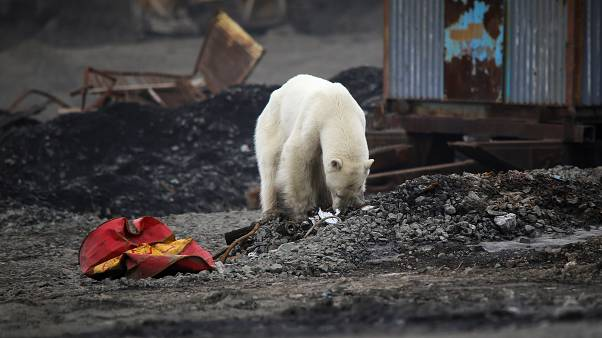 A stray polar bear is seen in the industrial city of Norilsk, Russia June 17, 2019