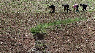 Güney Kore'den kuraklığın vurduğu Kuzey Kore'ye 50 bin ton pirinç yardımı