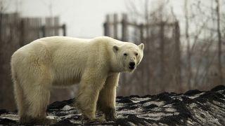[Vídeo] Meten en un zoo a la osa polar que apareció a 800 km del Ártico ruso para que se recupere