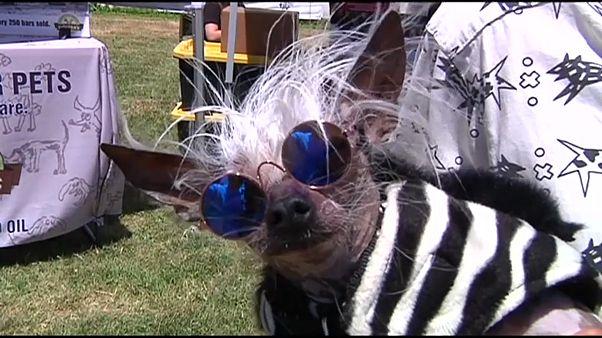 أحد الكلاب المشاركة في مسابقة أبشع كلب