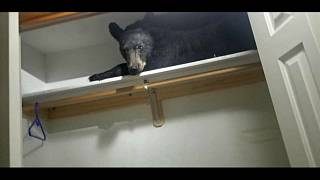 الدب مستلق في الخزانة