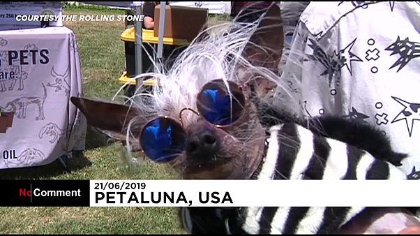 ABD'de dünyanın en çirkin köpeği yarışması düzenlendi