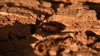 Греческие леса поедает жук
