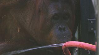 Így hűsölnek az orángutánok Bécsben
