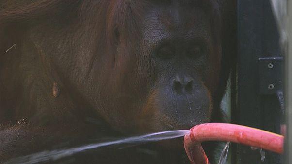 Вена: сообразительные орангутаны спасаются от жары