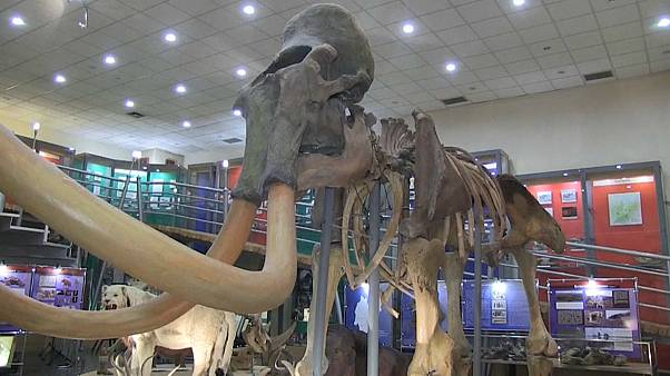 В Якутии найдены обработанные человеком останки мамонта