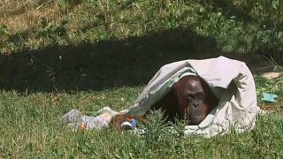 Moti, the 55 year old orangutang, cools down under a wet blanket