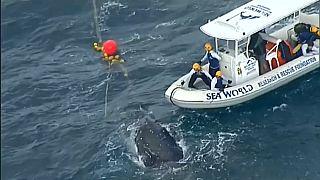شاهد: إنقاذ حوت علق في شباك لاعتراض أسماك القرش