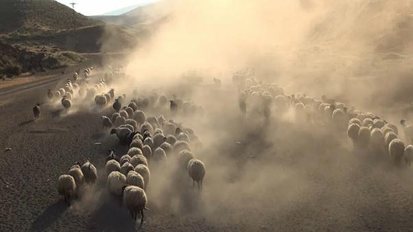 Watch: Shepherds in rural Turkey trek 30km on difficult route every day