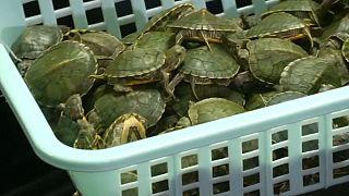 کشف ۵ هزار لاکپشت در فرودگاه کوالالامپور مالزی، تصویر ویدیوی رویترز