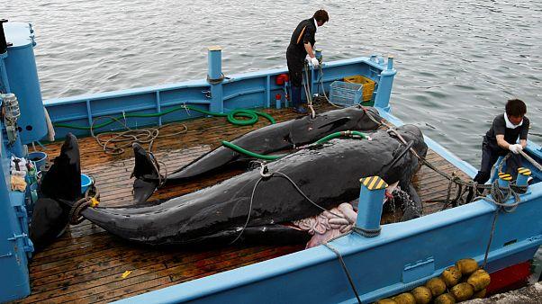 Baleias-piloto no convés de um barco perto de Taiji, a mais antiga vila baleeira do Japão
