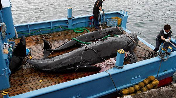 Japonya'da balina avı