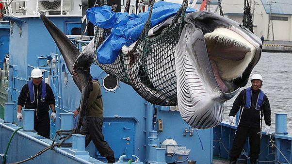 Япония: идёт охота на китов