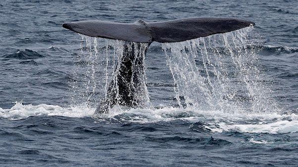 """Liberan a los primeros cetáceos de la """"prisión de ballenas"""" rusa"""