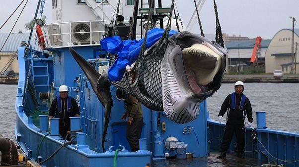 ژاپن علیرغم اعتراضها به شکار تجاری نهنگ ادامه خواهد داد