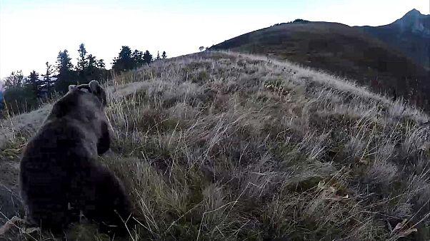 Une ourse femelle lors de son introduction dans département français des Pyrénées Atlantiquesle - 5 octobre 2018