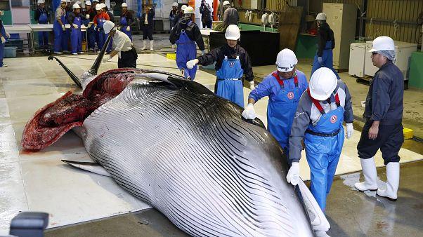 A l'instar du Japon, quels pays autorisent encore la chasse à la baleine?